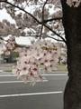 桜がポンポコポン
