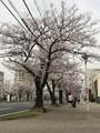 四日市の桜